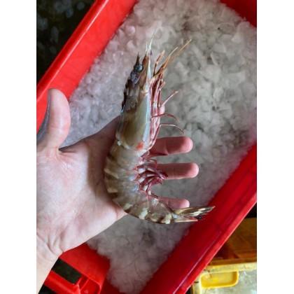 L Wild Tiger Prawn   野生黑虎虾 (70g-95g/pcs) 【500g+-/pack】