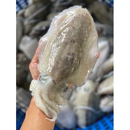 Big Cuttlefish Meat | Isi Sotong Katak Besar | 花木肉(墨斗) 【300g up/pcs】