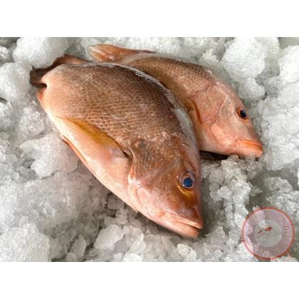 Red Snapper   Ikan Merah   红鱼