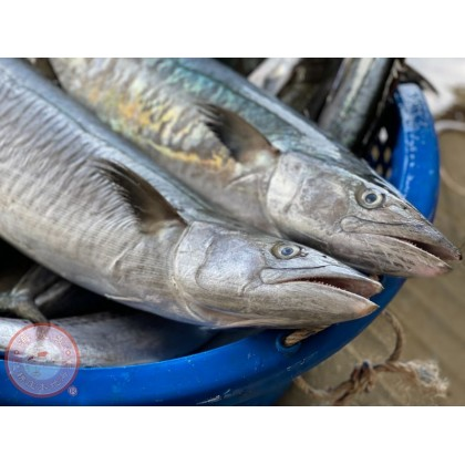 Spanish Mackerel   Tenggiri Batang Besar   大竹鲛  【2kg up/pcs】