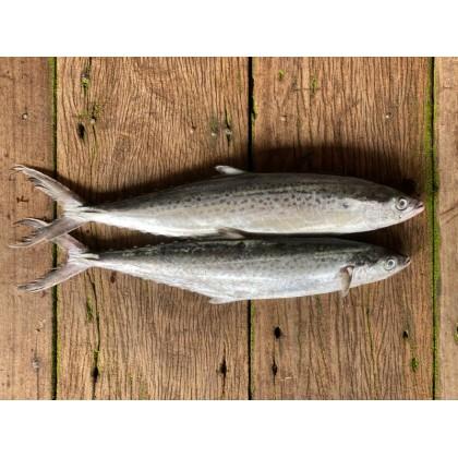Spotted Spanish Mackerel   Tenggiri Bunga   马鲛 【270g-599g/pcs】(1 - 2 pcs/pack)